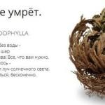 Не умирающее растение Selaginella Lepidophylla